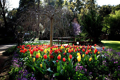 Photograph - Araluen Botanic Gardens Tulips 38 by Tony Brown