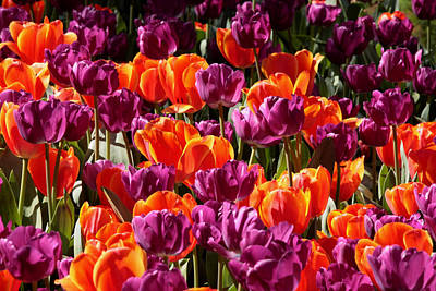 Photograph - Araluen Botanic Gardens Tulips 4 by Tony Brown