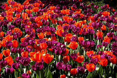 Photograph - Araluen Botanic Gardens Tulips 5 by Tony Brown