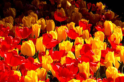 Photograph - Araluen Botanic Gardens Tulips 6 by Tony Brown