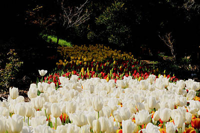 Photograph - Araluen Botanic Gardens Tulips 7 by Tony Brown