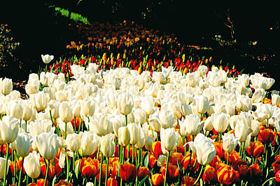 Photograph - Araluen Botanic Gardens Tulips 8 by Tony Brown