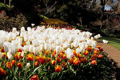 Photograph - Araluen Botanic Gardens Tulips 9 by Tony Brown