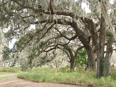 Photograph - Arching Oaks by Peg Urban