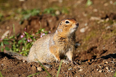 Photograph - Arctic Ground Squirrel by Doug Lloyd