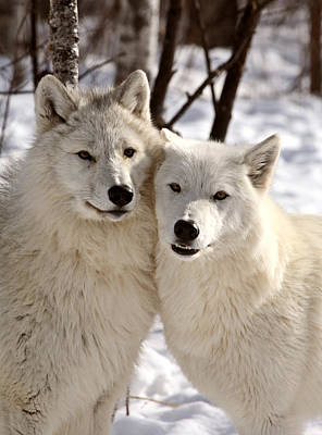 Arctic Wolf Photograph - Arctic Wolves Close Together In Winter by Mark Duffy