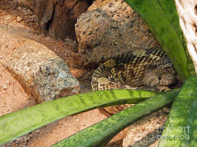 Photograph - Arizona Rattler by Methune Hively
