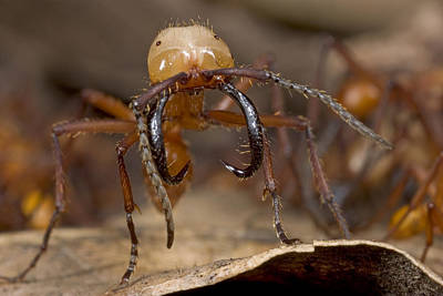 Army Ant Photograph - Army Ant Soldier With Giant Mandibles by Piotr Naskrecki