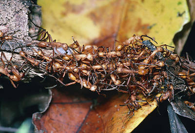 Army Ant Photograph - Army Ants by Dr George Beccaloni