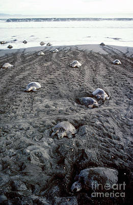 Photograph - Arribada Of Olive Ridley Turtles, Costa by Gregory G Dimijian MD