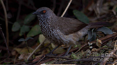 Photograph - Arrowmarked Babbler by Mareko Marciniak