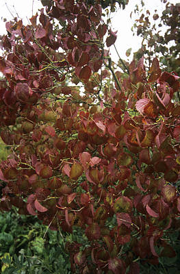 Viburnum Photograph - Arrowwood Viburnum (viburnum Dentatum) by Adrian Thomas