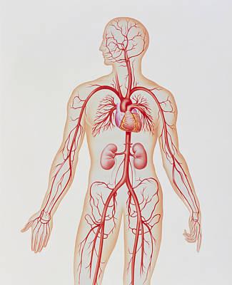 Artwork Of Human Arterial System Print by John Bavosi
