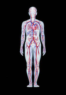 Artwork Of Human Blood Circulation Art Print by John Bavosi