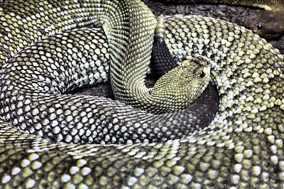 Rattle Snake Photograph - Aruban by JC Findley