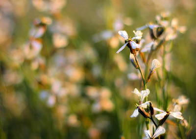 Photograph - Arugula Flowers by Angela Rath
