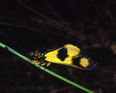 Photograph - Ascalaphidea Sp Butterfly by Donald Gaudiomnte