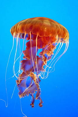 Jellyfish Photograph - Ascending Jellyfish by Carla Parris