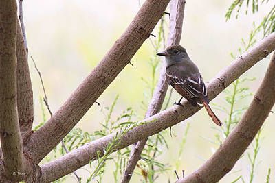 Photograph - Ash Throated Flycatcher by Roena King