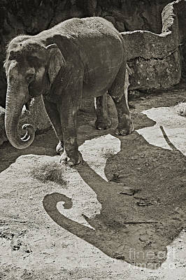 Photograph - Asian Elephant by Robert Meanor