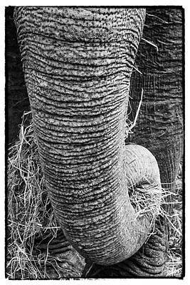 Photograph - Asian Elephant Trunk by Perla Copernik