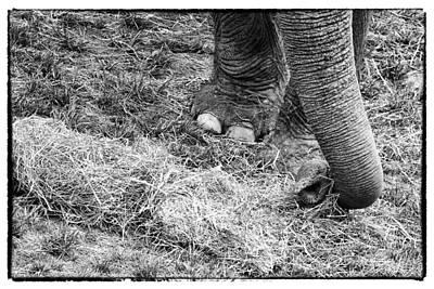 Photograph - Asian Elephanty by Perla Copernik