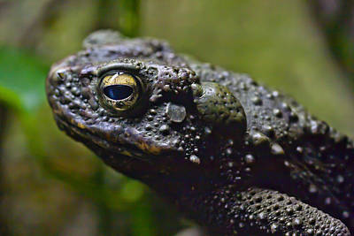 Photograph - Asian Giant Toad  by Zoe Ferrie