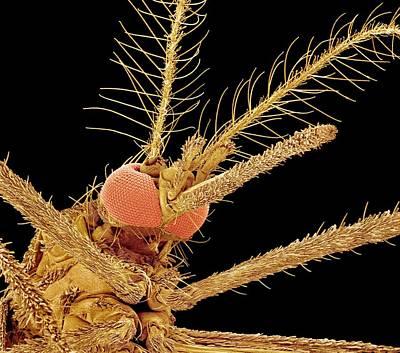 Asian Tiger Mosquito, Sem Art Print by Susumu Nishinaga