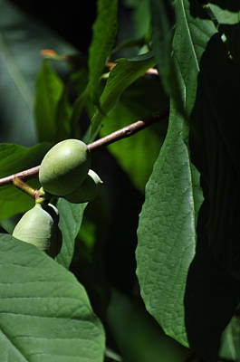 Photograph - Asimina Triloba Fruit by Rebecca Sherman