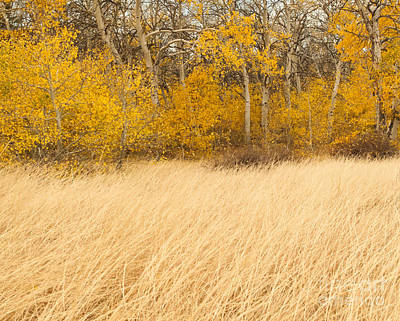 Aspen And Grass Art Print