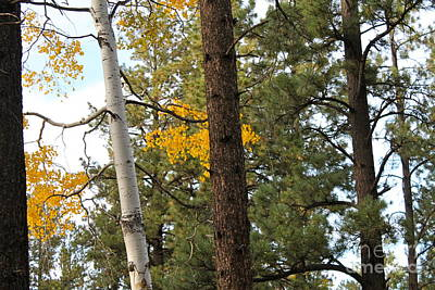Photograph - Aspen And Pine Trees by Pamela Walrath