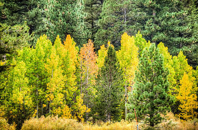 Photograph - Aspen And Pines In The Fall by Connie Cooper-Edwards