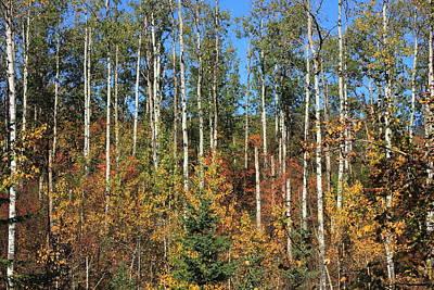 Woodlands Photograph - Aspen Autumn by Jim Sauchyn