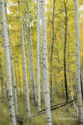 Photograph - Aspen Gold by David Waldrop