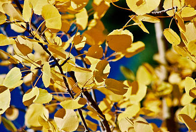 Photograph - Aspen Gold Medallions by Colleen Coccia