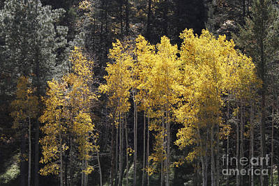 Photograph - Aspen Gold by Shawn Naranjo