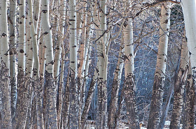 Art Print featuring the photograph Aspen Grove by Colleen Coccia