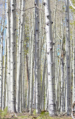 Photograph - Aspen Grove by Donna Greene