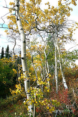 Photograph - Aspen Grove by Frank Townsley