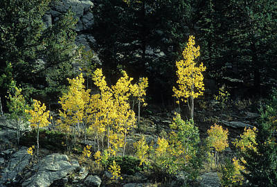 Photograph - Aspen In The Rocks by John Brink