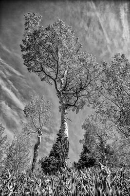 Aspen In The Sky Bw Art Print by Mitch Johanson