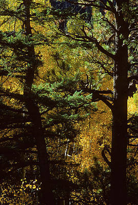 Photograph - Aspen In The Woods by John Brink