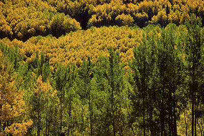 Photograph - Aspen On The Mountain by John Brink