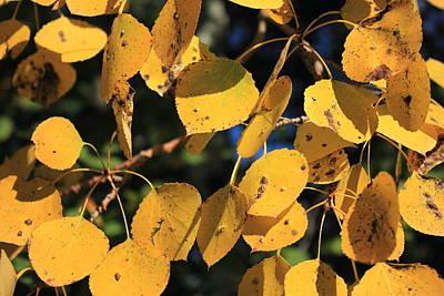 Fall Photograph - Aspen Poplar Leaves In Autumn by Jim Sauchyn
