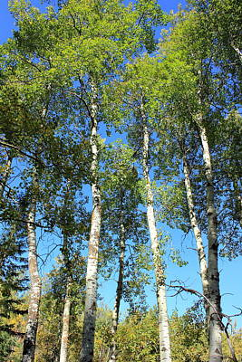 Landscapes Photograph - Aspen Poplar Trees by Jim Sauchyn