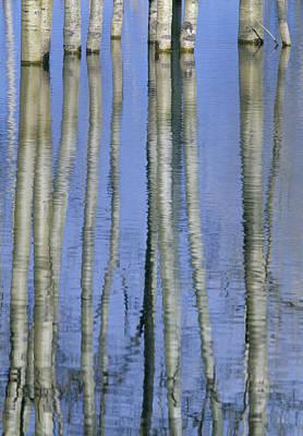 Aspen Poplar Trees Reflected In Spring Art Print by Darwin Wiggett