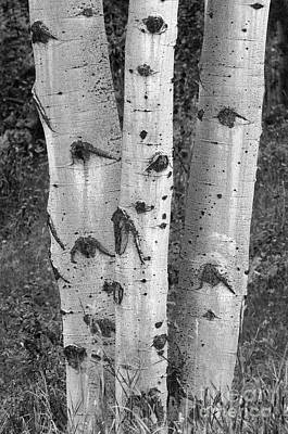 Photograph - Aspen Trees by Sandra Bronstein