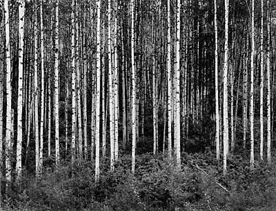 Aspen Trees Original