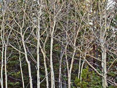 Aspens Color Gone Print by Larry Darnell