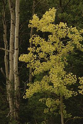 Aspens Stand Tall In This Woodlands Art Print